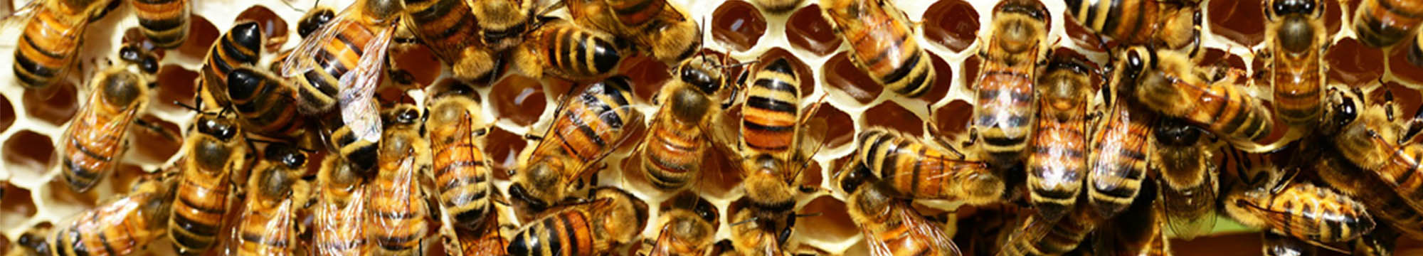 Sarum Bee Supplies Wiltshire worker bees